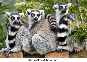 Ring Tailed Lemur - Close up of Ring Tailed Lemur Lemur...