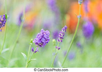 lavender - Blue or violet flower, lavender in field...