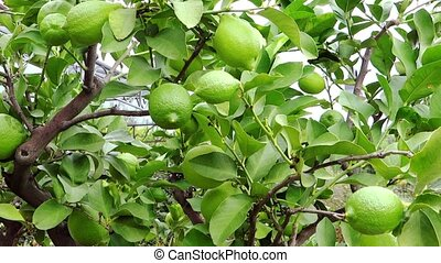 green lemons - Agriculture, farmland, lemon tree