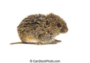Common Vole on white - Common Vole mouse (Microtus arvalis)...