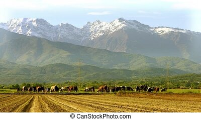 cattle in an alpine landscape - Agriculture, farmland, cows