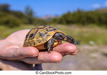 Young Spur-thighed tortoise on hand - Juvenile Spur-thighed...