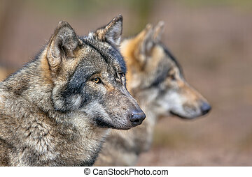 Portrait of two resting Grey Wolfs - Two resting Eurasian...