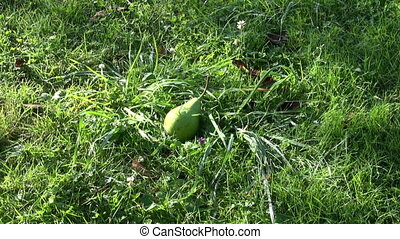 fresh pear fruits falling from tree on autumn garden grass