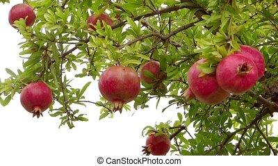 pomegranate tree - agriculture, farmland, pomegranate tree...
