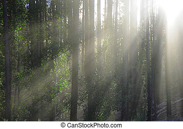 Sun beams in trees - Sun beams in forest in rocky mountains...