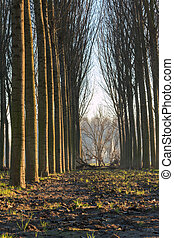 trees in line inside forest, tranquil scenery