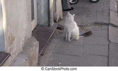 white dirty domestic cat on street - white dirty domestic...
