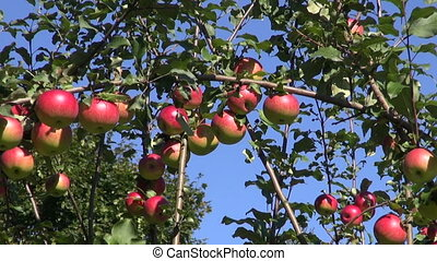 summer apple tree with apples