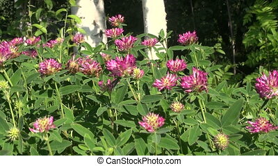 blooming wild clover in summer forest