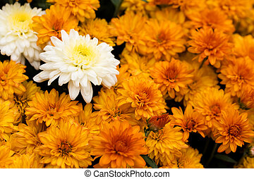 Mums - A close up of fall coloured mum flowers, mums