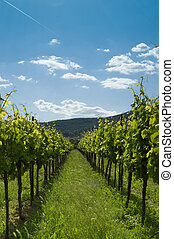 Vineyard 2 - A Vineyard under blue sky in germany