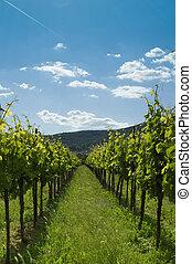 Vineyard 2 - A Vineyard under blue sky in germany