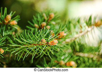 Young shoots of pine trees in the forest spring