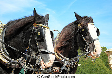 Shire Horses - Two thoroughbred Shire horses wearing tackle...