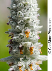 Lambs Ear Stachys Byzantina Flowering Spike Close-Up - A...