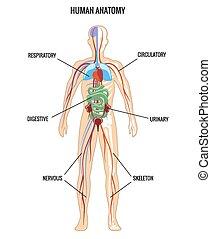 Human anatomy. Urinary and digestive, skeleton and...