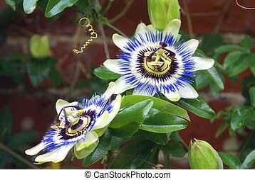 Passiflora - passion flowers or passion vines