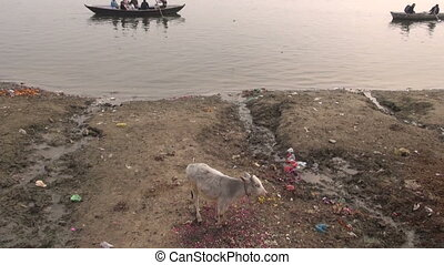 sacred young cow Ganges river - sacred young cow on polluted...