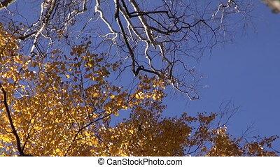 big birch  trunk in golden autumn