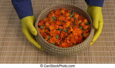 fresh healthy calendula marigold medical flowers on table