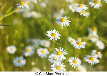 Spring nature - Spring meadow full of daisies on a sunny day