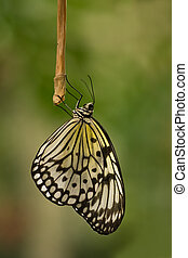 Paper kite butterfly resting for the night - Paper Kite or...