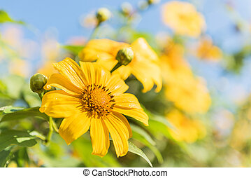 Mexican sunflower weed and blue sky background