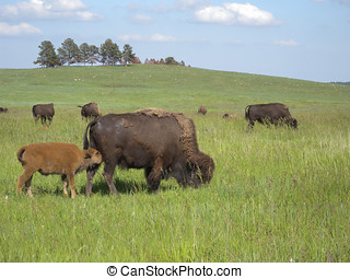 Nursing Bison - An American Bison (Buffalo) cow nursing her...