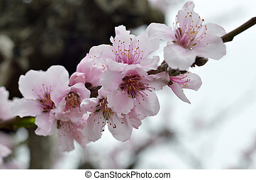 Flowering peach trees - Flowering peach tree pink flowers on...