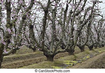 Flowering peach trees. - Flowering peach tree pink flowers...