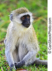 Vervet monkey (Chlorocebus pygerythrus) at a Nature Reserve...