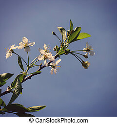 Apple Tree Flowers - Toned Photo of Apple Tree Branch on Sky...