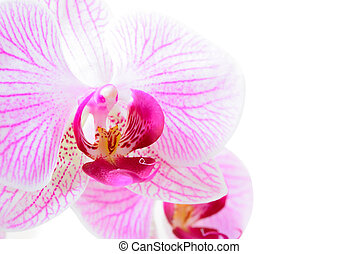 Beautiful Pink Orchid Flower Isolated on White Background