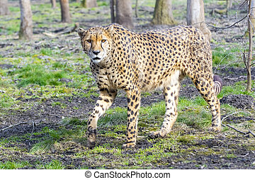 Cheetah Acinonyx jubatus is walking in a forest enclosure