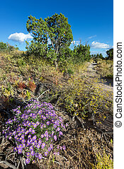 Purple Asters in Northern New Mexico - Vivid purple asters...