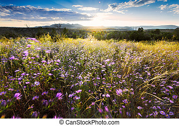 Wind-Blown Purple Asters at Sunset in Northern New Mexico -...
