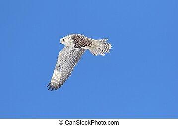 Rare (Gyrfalcon Falco rusticolus) in flight against a blue...