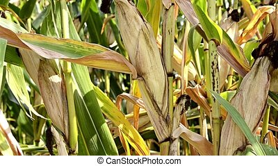 harvesting a cob, close up - Agriculture, farming Harvesting...