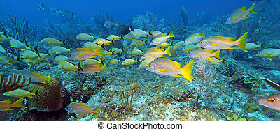 School of five-lined Snappers Lutjanus quinquelineatus -...