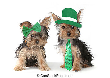 Yorkshire Terrier Puppies Celebrating Saint Patricks Day -...