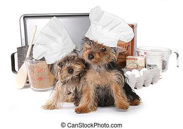 lindo, Yorkshire, Terriers, Chef, con, sombrero,