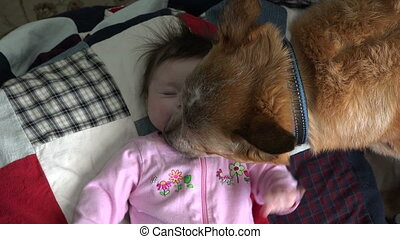 Dog Kissing Baby Excessively - Over - Dog kissing a newborn...