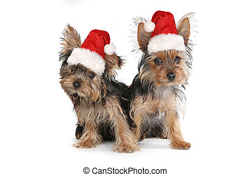 Christmas Themed Yorkshire Terriers on White Background