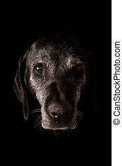 Sad Old Dog Looking at the Camera - Isolated on Black...