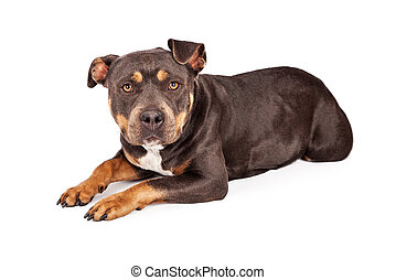 Tri Color Pit Bull Dog Laying Down - A cute tri-color Pit...
