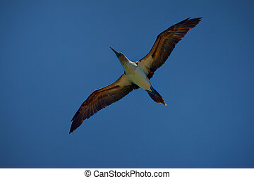 Blue-footed Booby is flying in the sky