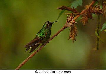 Buff-tailed coronet hummingbird of Ecuador