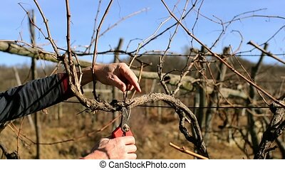 pruning vines - Agriculture, farmland, vineyards. Farmer...