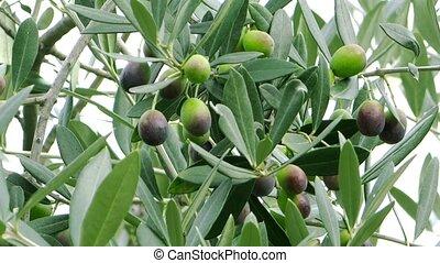 harvesting olives - Olives close up. Agriculture, harvest.